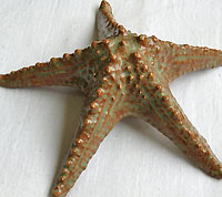 Horned Starfish